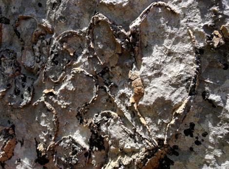 Fossile bivalve del triassico, risalente a circa 200 milioni di anni fa'. E' presente nella dolomia formatasi sui fondali non molto profondi.